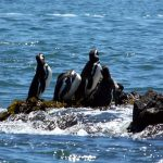 Pinguineras de Chiloé